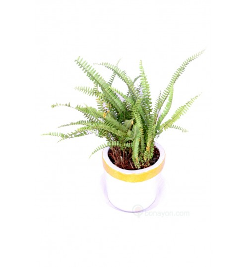 BOSTON FERN BALCONY PLANT With Golden White Planter